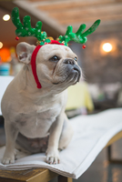 French Bulldog dressed up as christmas reindeer