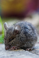 Grey house mouse (Musmusculus) with eyes closed