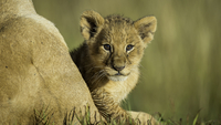 Portrait of lion cub (Panthera leo), Kenya