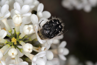 Close-up view of beetle foraging for nectar on lilac flowers