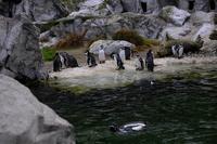 Group of Magellanic Penguins (spheniscus magellanicus)