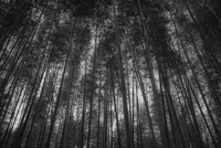 Dense bamboo forest, Kyoto, Honshu, Japan 11098045878| 写真素材・ストックフォト・画像・イラスト素材|アマナイメージズ