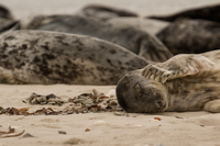 Seal lying down and scratching, Heligoland, Schleswig-Holstein, Germany