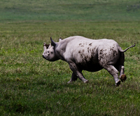 White rhinoceros (Ceratotherium simum) running in Ngorongoro Conservation Area, Tanzania 11098045903| 写真素材・ストックフォト・画像・イラスト素材|アマナイメージズ