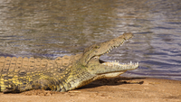 Crocodile with open mouth in Kruger National Park, South Africa