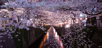 Cherry blossom tunnel along riverbank, Meguro, Tokyo, Japan