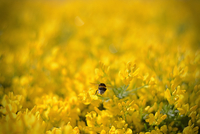 Bumblebee flying over field of yellow flowers