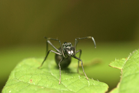 Ant mimicking jumping spider against blurry sparse background