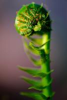 Close-up of fiddlehead fern, Ontario, Canada