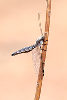 Owlfly (Ascalaphidae) perching on grass against sparse background