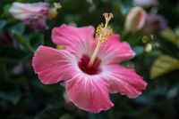 Close-up of pink hibiscus flower with stamen visible against blurry background