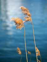 Close up of reeds on riverbank