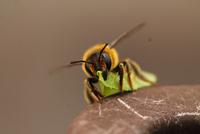 Close up of Megachile, Geneva, Switzerland