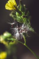 Close up of common dandelion (Taraxacum officinale)