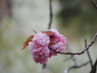 Close-up of apple tree branches in blossom