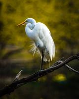 Eastern great egret (Ardea alba modesta) perching on branch