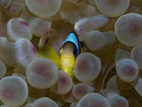 Red sea clownfish (Twoband anemonefish) and jellyfish, Israel