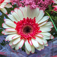 White and pink gerbera