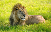 Lion lying among grass, Okavango Delta, Botswana