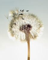 Seed head of dandelion (Taraxacum) with dew