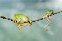 Dumpy tree frogs (Litoria caerulea) on branch, Indonesia