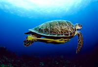 Sea turtle underwater, Roatan, Bahia