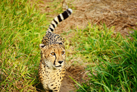 Cheetah (Acinonyx jubatus) on grass