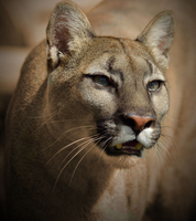 Portrait of cougar (Puma concolor)