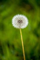 Dandelion seed head against blurry background, Styria, Austria