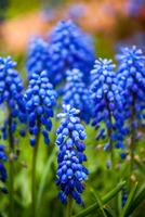 Blue muscari armeniacum flowers blooming, Styria, Austria