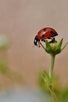 Ladybird on flower, France