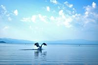 Pelican (Pelecanus onocrotalus) landing in water, Prespa, Greece