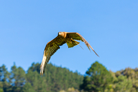 Australasian harrier hawk flying against sky