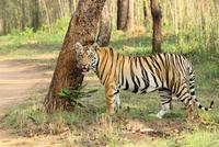 Portrait of Royal bengal tiger (Panthera tigris tigris) in Tadoba National Park, Chandrapur, Maharashtra, India