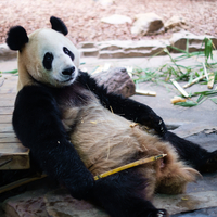 Portrait of lying panda, Guangzhou, China
