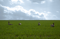 Wild geese on meadow