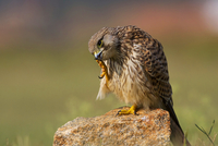 Common kestrel (Falco tinnunculus) licking claw, Bengaluru, India