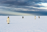 Penguins standing on snow, Antarctica