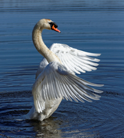 Swan on water, Morristown, New Jersey, USA