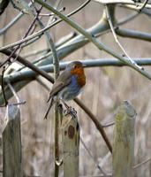 American robin (turdus migratorius) perching on wooden pole, Arundel, UK