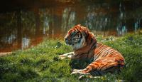 Sumatran tiger laying on meadow by water