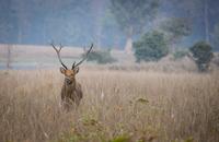 Barasingha deer standing in tall grass, Kanha National Park, Madhya Pradesh, India
