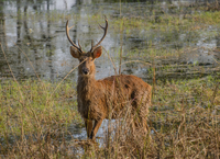 Barasingha deer standing in swamp, Kanha National Park, Madhya Pradesh, India