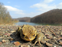 Lying toad