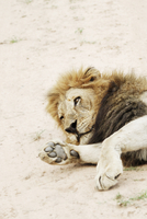 Lion lying down in Kruger National Park, South Africa