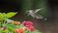 Ruby-throated hummingbird (Archilochus colubris) feeding on lantana camara (Lantana camara L.)