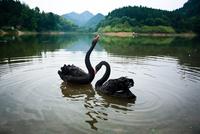 Two black swan (Cygnus atratus) birds floating on lake, Hangzhou, Zhejiang, China