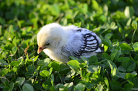 Chick in clover grass