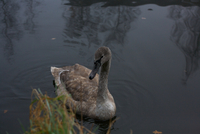 Brown swan with black beak floating on lake