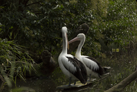 Pelicans standing by water, Melbourne, Victoria